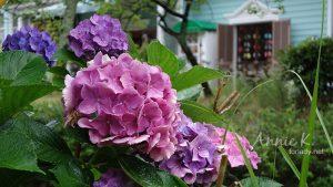 京都紫陽花之旅_雨中的哲學之道