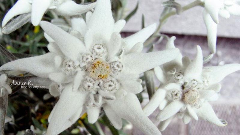 因為韓劇《愛的迫降》,雪絨花現在總該被認識了吧!