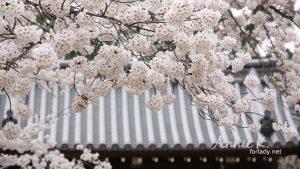 賞櫻照片怎麼拍才有故事